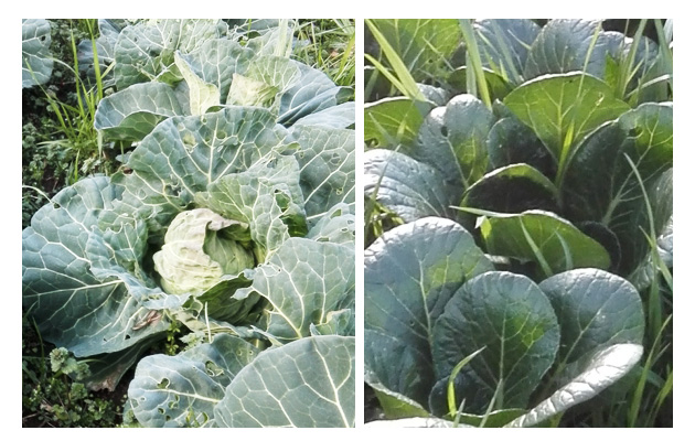 有機の野菜セット