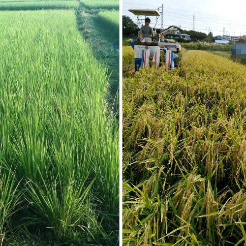 無農薬・有機のお米